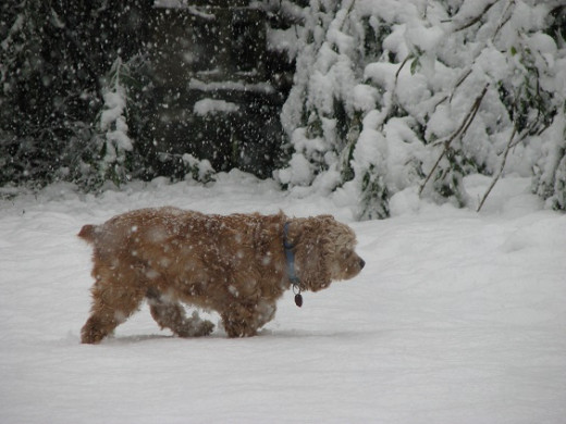 Cocker Spaniel in Snow shows 2nd Chance experiencing the white stuff for the first time.