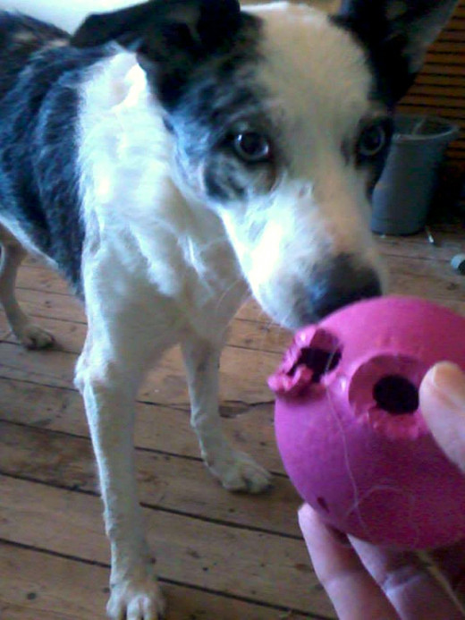 I think having a brightly-coloured ball helps. As long as Blue keeps it in sight, he can play for hours.