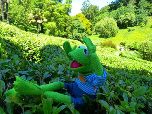 Kermit the Frog is a world traveler and in this shot, he is glad to have found a way out of the maze at Glendurgan.