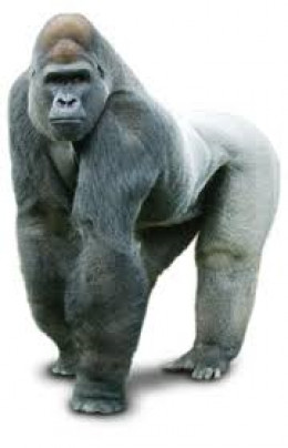 Feast your eyes on the majestic gorilla