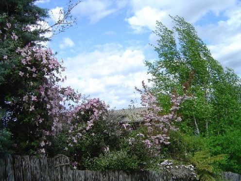 Clematis Montana and Silver Birch