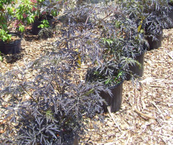 Culture and Care of Black Lace Elderberry, an Ideal Shrub for Wet Locations