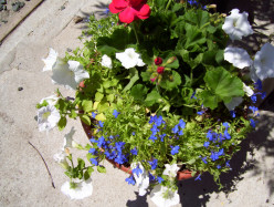 How to Make Patriotic Wave Petunia Planters for the Patriotic Holidays