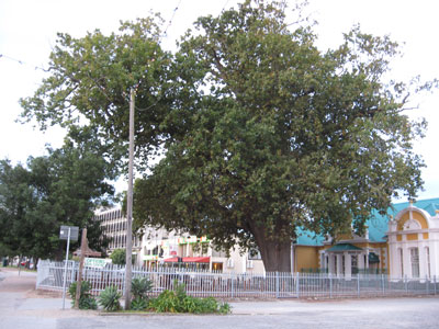 The Old Slave Tree in George, where slaves were allegedly once chained and sold, was planted about 200 years ago and still exists in front of the old library.