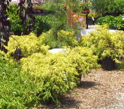 Golden Threadleaf Cypress: Things to know before buying to ensure success in the landscape