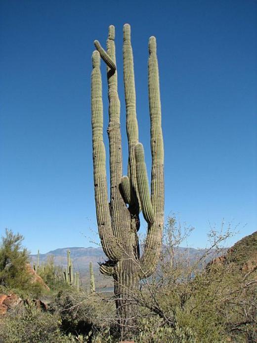 Saguaro Cactus in Arizona desert