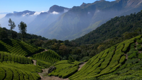 Tea Plantation in the Indian State Kerala.