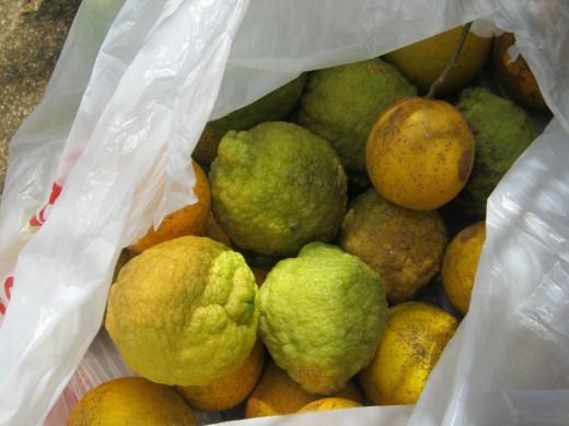Ripe oranges, grapefruit, and a lemon/orange cross I picked