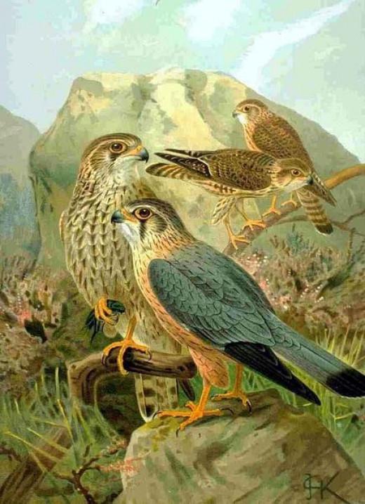 Naumann's, 'Natural History of Birds'