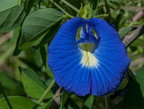 Medicinal Uses of Clitoria Ternatea  (Shankhpushpi)