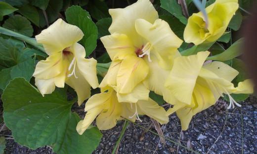 """""""Laguna"""" variety of Gladiolus"""