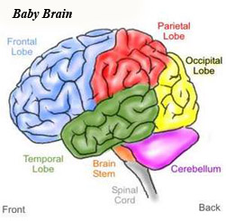 The newborn's brain and its parts. Notice the frontal lobe.