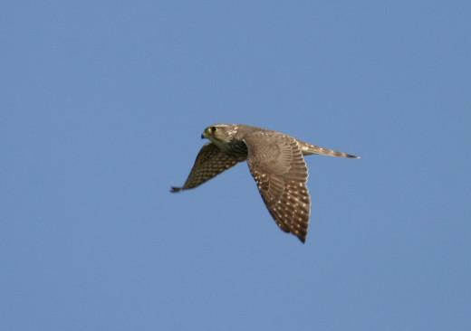 Uploaded to Commons via MPF. The image was taken at Bandon Marsh wetland Reserve ,Oregon USA.