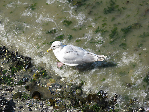 A gull in Stanley Park