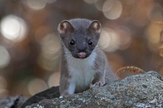 Weasel in Summer Fur