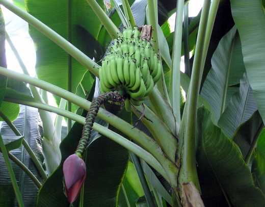 Most of the bananas have been cut already from this bunch. The residual flower is hanging at bottom.