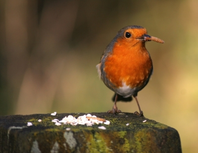 A favourite for all bird lovers! She was not happy to be invaded by the Magpies and called her mate for help!