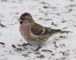A Common Redpoll (Carduelis flammea) in Kittilä, Finland.  (Might be a juvenile)