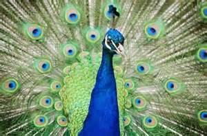 Several peacocks, as well as deer, roam in and around the zoo perimeters,