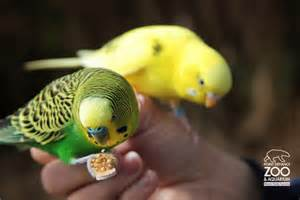Feeding the room full of budgies is always a joy- even for the grownups!
