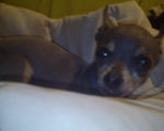 PeeWee Male Chihuahua, Would Prefer to Cuddle 24/7