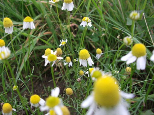 The basis for chamomile tea is the flowers, like those growing in this photo.  They are sweet looking little flowers, that can be very helpful!