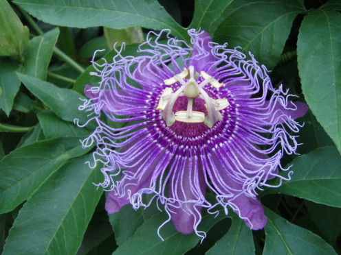 Passion flowers have been included in teas to help promote restful sleep, and aiding in anxiety.  This particular flower is a Passiflora incarnata hybrid.  They are beautiful, unique flowers.