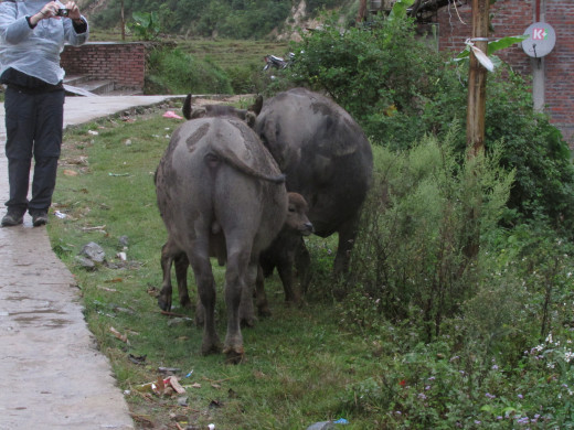 Water buffalos on trekking route