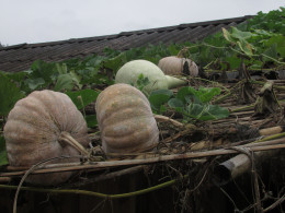 Pumpkins growing on the roof of a village hut