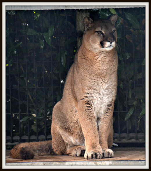 The zoo also features several cougars, or mountain lions, in an open environment filled with logs and rocks.