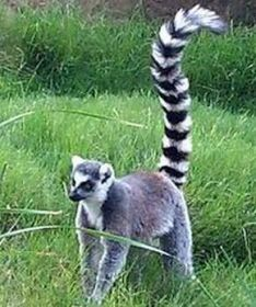 The lemurs gather to make loud screaming chants, as is typical of this type of monkey.
