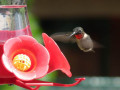 How To Create A Ruby-Throated Hummingbird Habitat