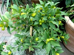 How to Grow Kumquats, Health Benefits and Best Cumquat Recipes