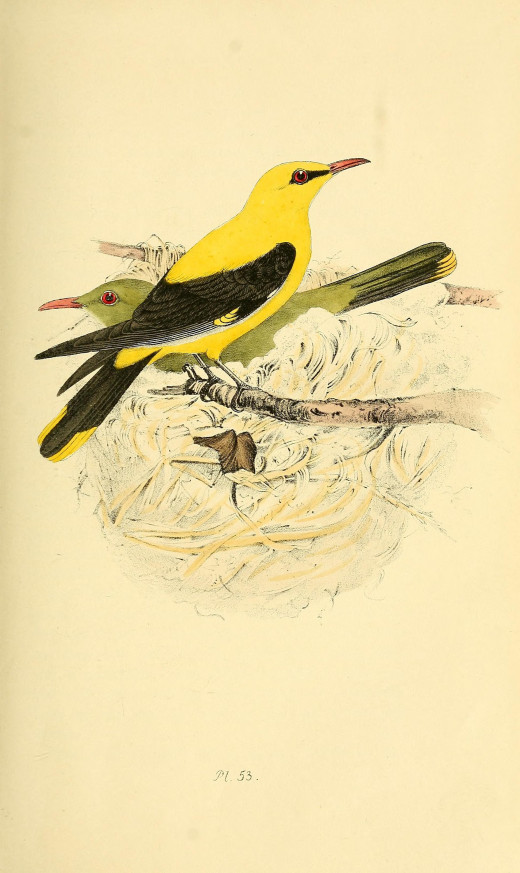 Coloured Illustrations of British Birds and their Eggs. Meyer 1842-1850,courtesy of the BHL