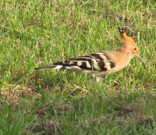 Wildlife: the Hoopoe