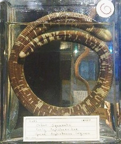 A preserved Amphisbaena fuliginosa; this attractive worm lizard lives in the northern part of South America and in Trinidad