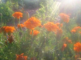 I thought this picture was so beautiful of the sun shining through the flowers.