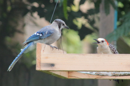 Table Talk: A Woodpecker and young Blue Jay