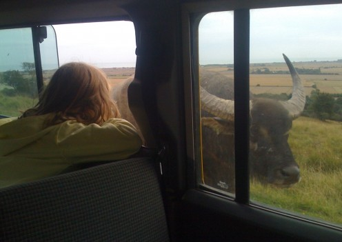 Tyra (my daughter) checking out an Asian water buffalo walking past the Land Rover.