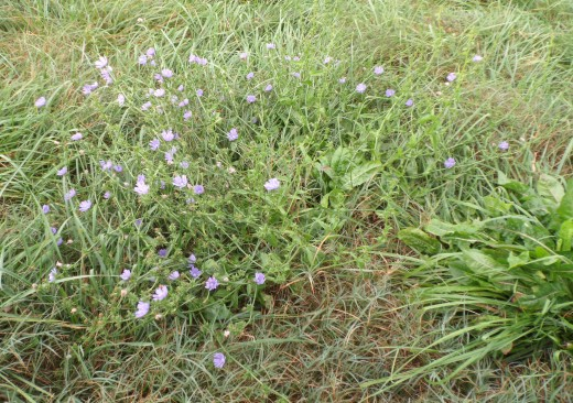 Forage Chicory Blooming
