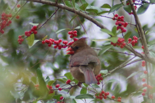 Winter foraging for berries. This female is harvesting Yaupon Holly berries.