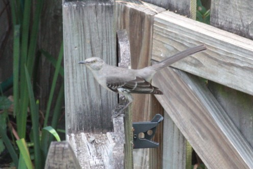 Mockingbirds are everywhere in our state.  They were one of the first visitors for my backyard.