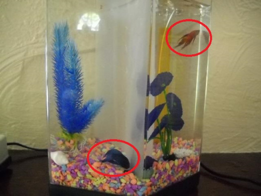 My experiences owning betta fish hubpages for Petco koi fish