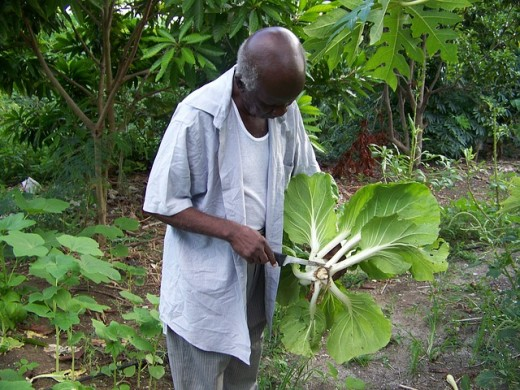 A gardener cutting up a type of Asian leafy green.