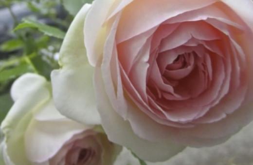 Pierre Ronsard Rose