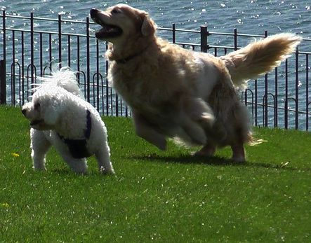 Dogs playing at a local park.