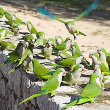 The parakeets on Santa Ponça beach.