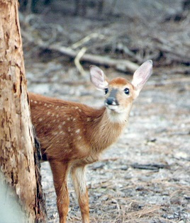 This looks like little Bambi when he was lost and alone.