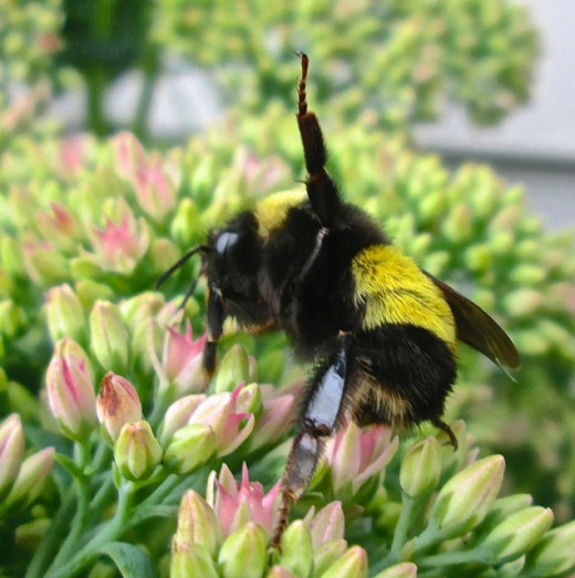Large Bumblebee on Autumn Joy flowers.