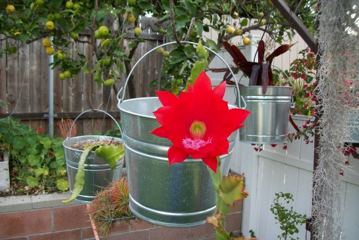 Orchid Cactus and bromeliads in galvanized buckets